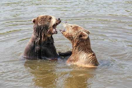 Brown bears playing in the water