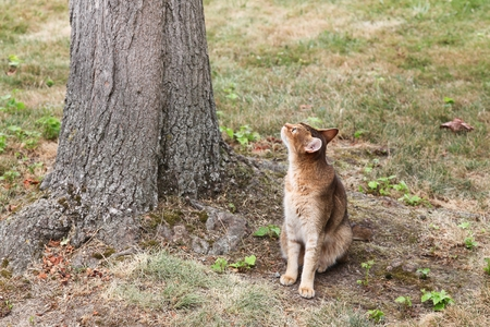 Abyssinian cat watching for birds in a tree Stock Photo