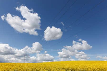 Yellow rapeseed field in Denmark