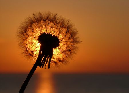 Dandelion in the  sunset light.