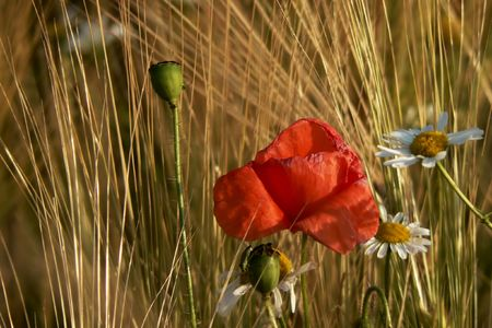 A corn poppy in a grain field.