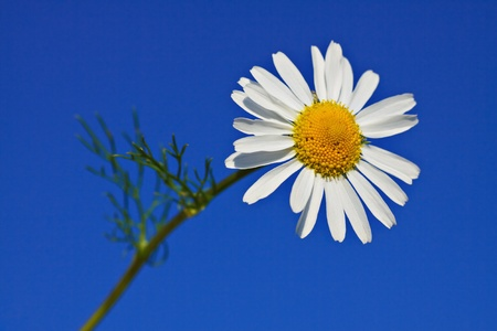 Chamomile with blue sky. photo