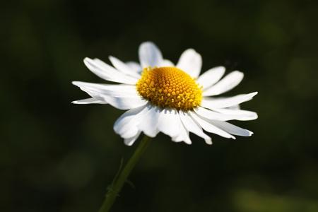 Chamomile flower photo