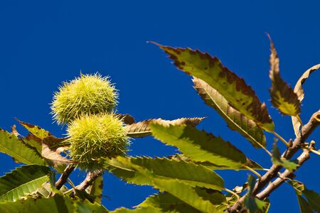 chestnut tree: Detail of a chestnut tree. Stock Photo