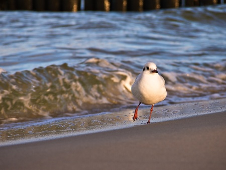 A dancing sea gull on shore of the Baltic Sea. Stock Photo