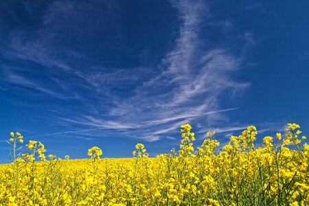 A rape field with blue sky.