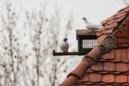 Pigeons on a roof  photo