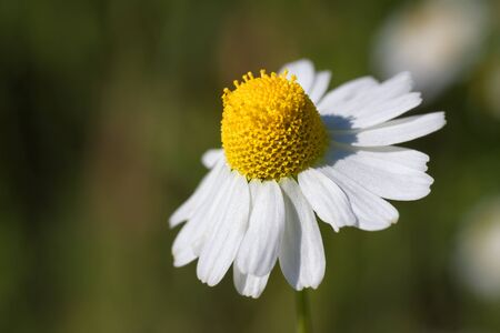Chamomile blossom on a meadow. photo