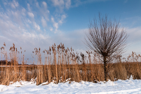 waterside: Winter on a lake with reeds.