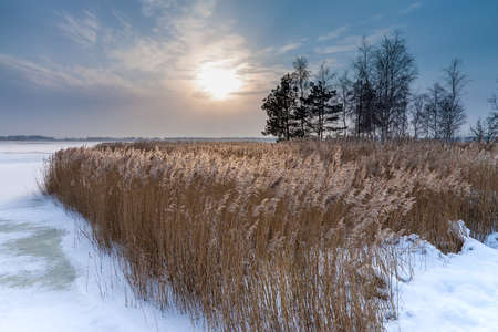 Winter on a lake with reeds.