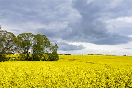 Yellow canola field with clouds in the sky.