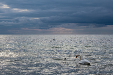 Swan on shore of the Baltic Sea. Stock Photo