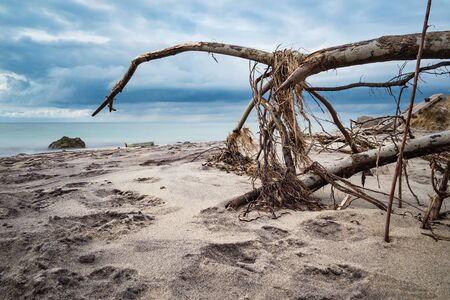 overthrown: Overthrown tree on shore of the Baltic Sea.