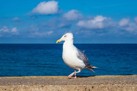 Sea gull on the Baltic Sea coast in Warnemuende, Germany. Banque d'images