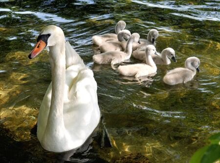 swan with cubs