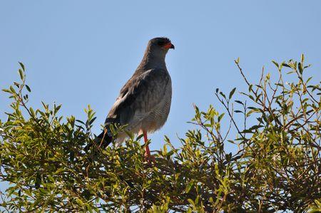 Ovambo sparrowhawk sitting on a tree