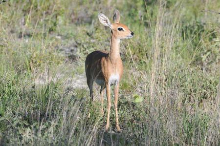 steenbok in Etosha National Park