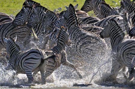 Zebras in alarm at a waterhole Standard-Bild