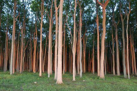 boles: Trees in sunset light