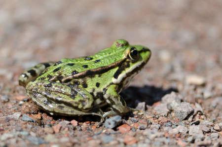 common hop: Frog Stock Photo