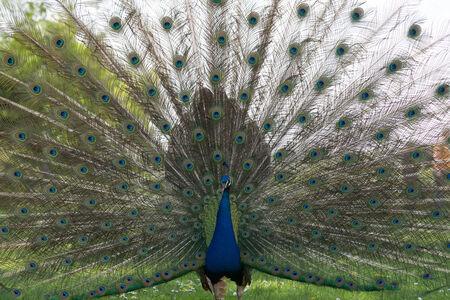 peacock wheel: Ruota Peacock full frame Archivio Fotografico