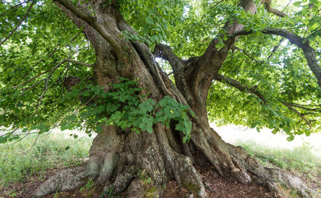 basswood: 800 years old lime tree
