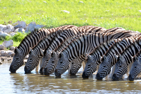 Zebras in a line at the waterhole