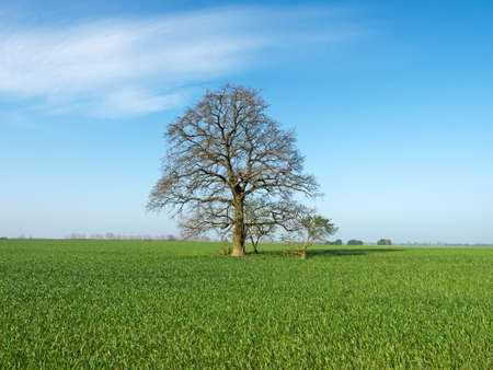 individually: lonely oak tree on field in spring