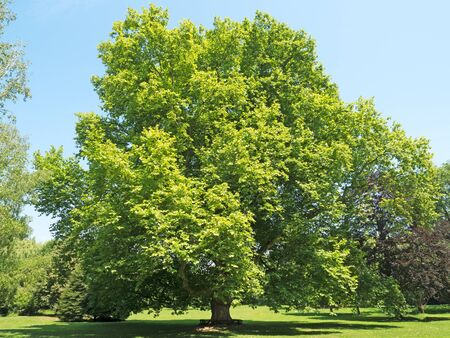 enormous: old plane tree of enormous age and dimensions Stock Photo