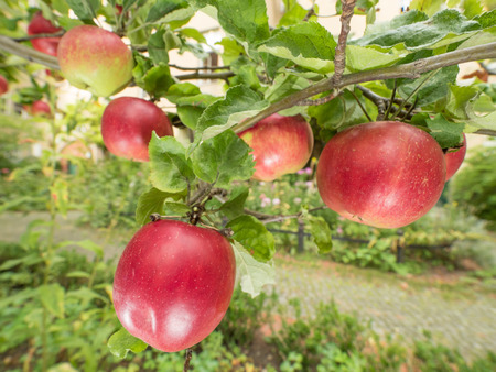 pome: Apples on the tree in bright sunlight Stock Photo