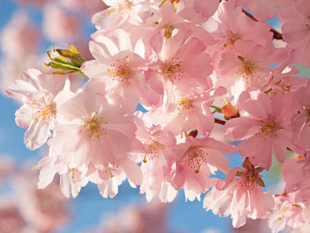 Japanese Cherry Blossom in springtime on a sunny day Stock Photo