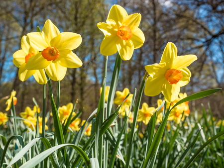 blooming daffodils in a park in spring time