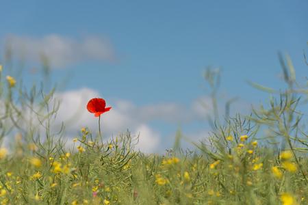 Poppy flower in rape field at springtime