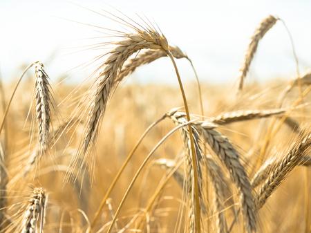 wheatfield Standard-Bild