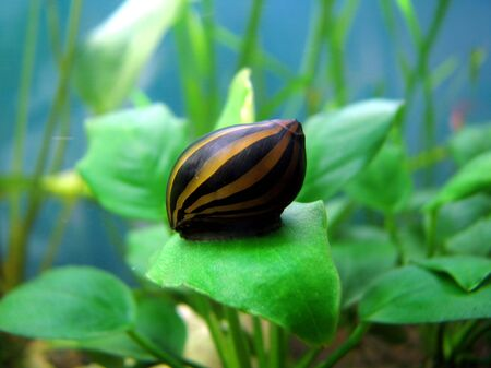 hermaphrodite: Tiger snail, Neritina natalensis Stock Photo