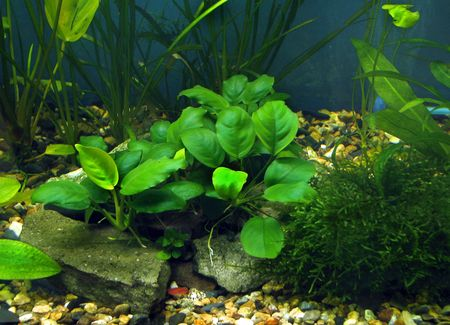 anubias in a aquarium Stock Photo