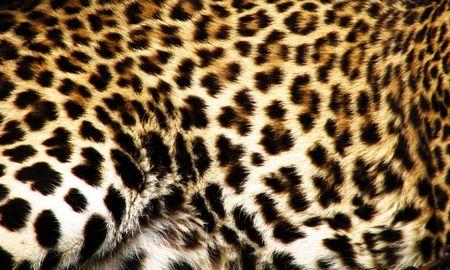 leopard skin: leopard fur