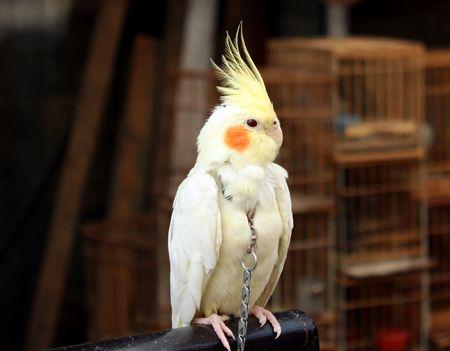 white parrot photo