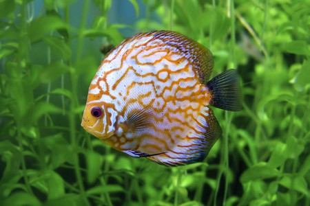 Yellow stripped discus Stock Photo - 7717489