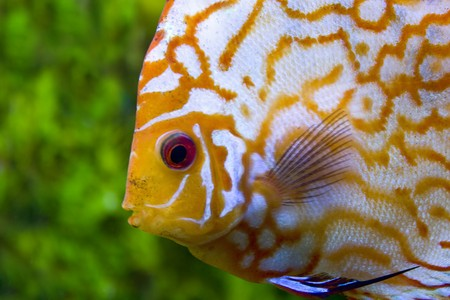 Face yellow discus photo