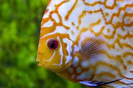 Face yellow discus Stock Photo - 7717524