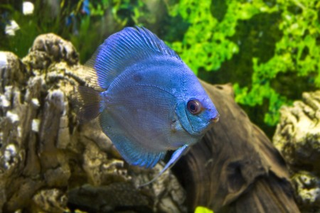 Blue discus Stock Photo