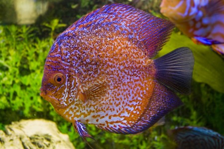 Red discus Stock Photo - 7717523