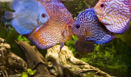 Four aqua fish, discus Stock Photo - 7717479
