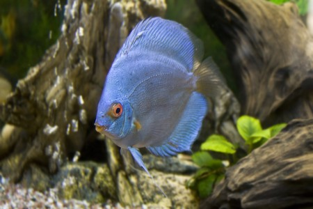 One blue discus photo