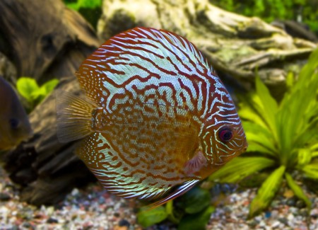 One stripped discus photo