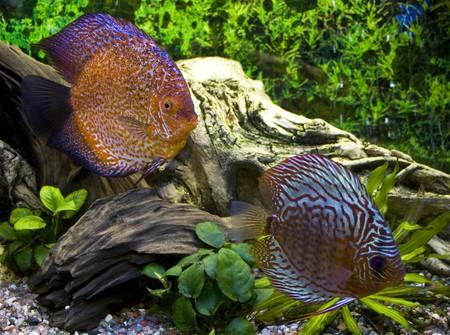 Two discus in the aquarium Stock Photo - 7717497