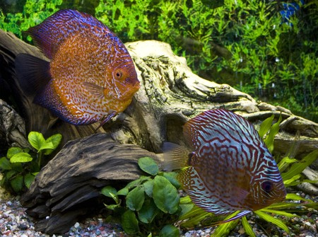 discus: Two discus in the aquarium