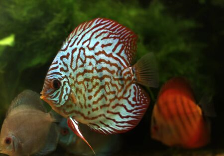 Stripped discus photo