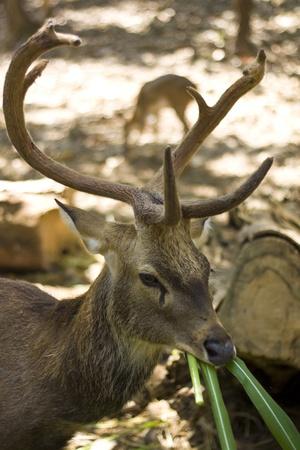 white tailed: deer